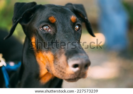 Young, Beautiful, Black And Tan Doberman. Doberman Is Breed Known For Being Intelligent, Alert, And Loyal Companion Dogs - stock photo