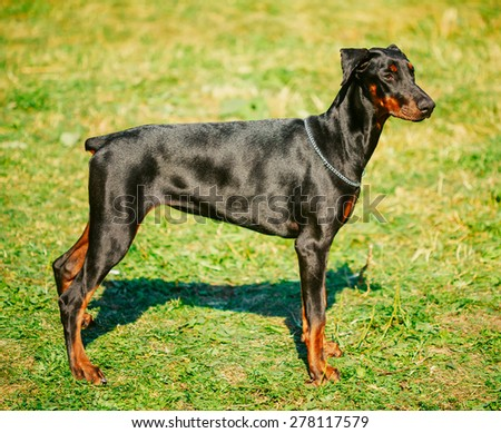 Young, Beautiful, Black And Tan Doberman Standing On Lawn. Dobermann Is A Breed Known For Being Intelligent, Alert, And Loyal Companion Dogs. - stock photo