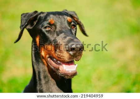 Young, Beautiful, Black And Tan Doberman Standing On The Lawn. Dobermann Is A Breed Known For Being Intelligent, Alert, And Loyal Companion Dogs. - stock photo