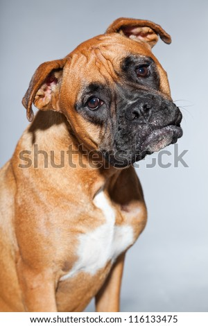 Young beautiful brown boxer dog. Studio shot isolated on grey background. - stock photo
