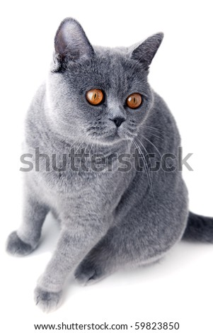 Young beautiful gray British cat sitting on a white background