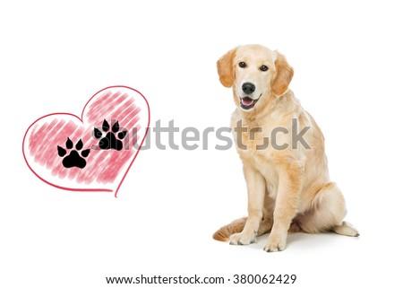 Young beautiul golden retriever dog - stock photo