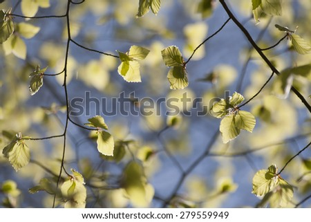 young beech tree leaves blooming in springtime  - stock photo