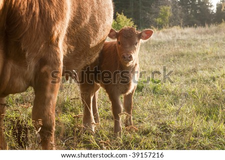Young beef cattle calf with it's mother looking a little shy at you