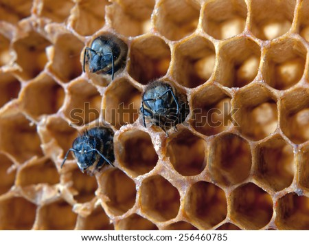 young bees inside honeycomb. Close up - stock photo
