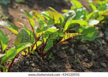Young beetroot plans on a path in the vegetable garden