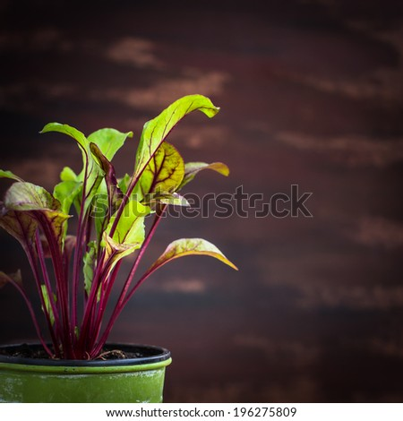 Young beetroot plant in green pot. Selective focus. - stock photo