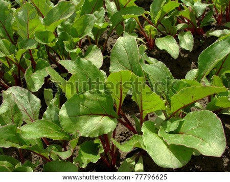 young beetroot plants growing on the vegetable bed - stock photo