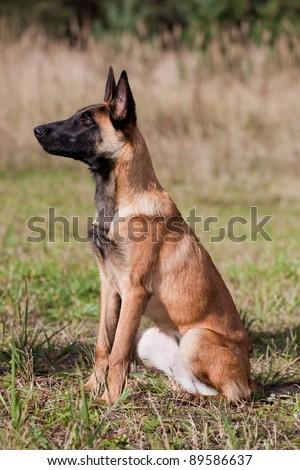 young Belgian shepherd sitting on the grass