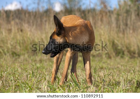 young Belgian shepherd walking on the grass - stock photo