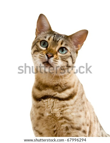 Young bengal cat or kitten looking at camera with a lonesome sad face - stock photo