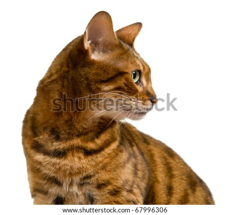 Young bengal cat or kitten looking sideways in a proud profile showing its wild history - stock photo