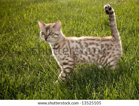 Young Bengal kitten appearing to smile for the camera - stock photo
