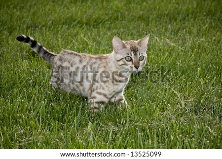 Young bengal kitten prowling in the grass - stock photo
