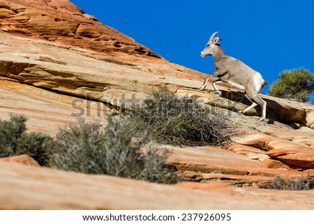 young big horn sheep climbing colorful sandstone cliffs in Zion NP - stock photo