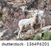Young bighorn sheep in the Rocky Mountains - stock photo