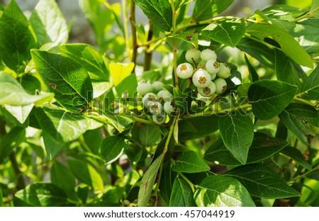 young bilberry on bush, Vaccinium myrtillus, Ripe blueberries on the bush. - stock photo