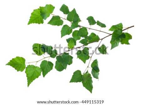 Young birch branch - stock photo