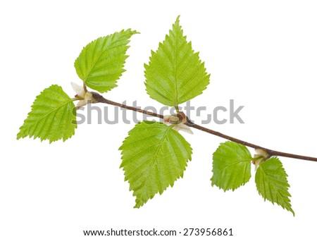 Young birch branch. Macro - stock photo