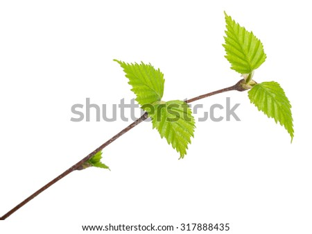 Young birch branch. Macro - stock photo