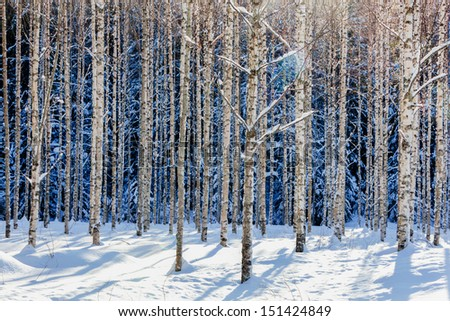Young birch forest in winter in sunshine - stock photo