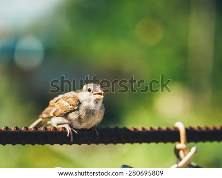 Young Bird Nestling House Sparrow Chick Baby Yellow-Beaked Passer Domesticus) Sitting On Fence