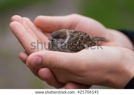 Young Bird Nestling House Sparrow (Passer Domesticus) Chick Baby Yellow-beaked In male Hands - stock photo