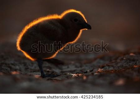 Young bird with beautiful back light light during sunset. Evening wildlife scene. Brown skua, Catharacta antarctica, water bird sitting in the autumn grass, evening light, Argentina. Chicken babe. - stock photo