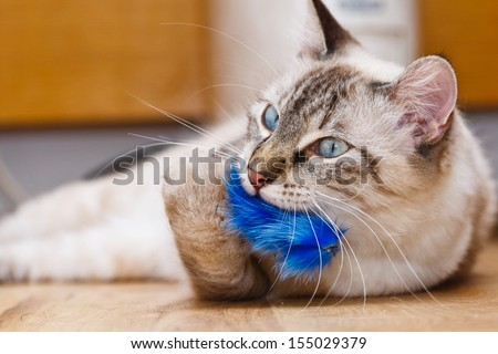 Young birman kitten playing with a fluffy toy - stock photo