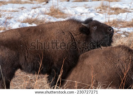 Young bison laying on his mother while she is resting
