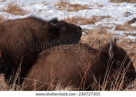 Young bison laying on his mother while she is resting - stock photo