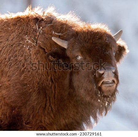 Young bison looks at photographer with a sideways glance, Yellowstone National Park in winter - stock photo