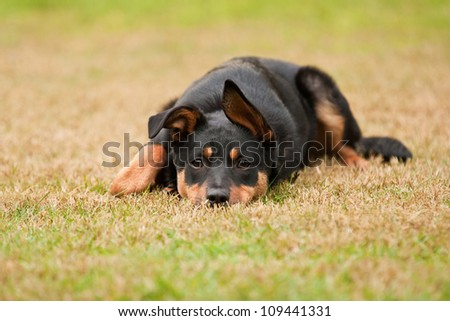Young black and tan Kelpie (a breed of Australian sheep dog) lying on the grass. - stock photo