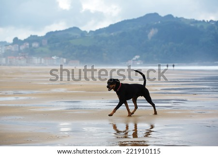 Young black and tan mixed labrador doberman on the walk, beautiful and strong doberman walking on ocean beach - stock photo