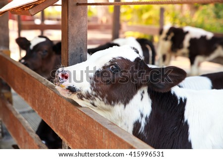 Young black and white calf. - stock photo