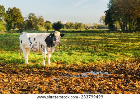 Young black and white cow in natural dutch landscape.Sunset late afternoon in fall - stock photo