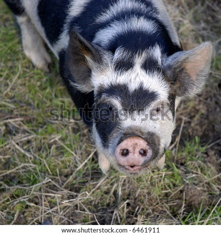 young black and white piglet - stock photo