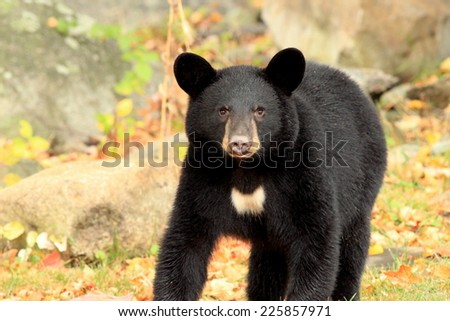 Young black bear in autumn  - stock photo