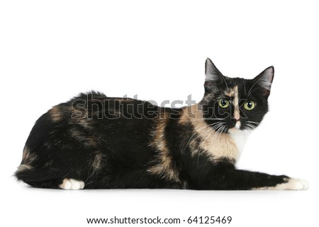 Young black brown cat on a white background