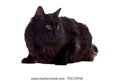 young black cat, sitting in front of white background - stock photo