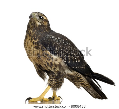 Young Black-chested Buzzard-eagle - Geranoaetus melanoleucus in front of a white background - stock photo