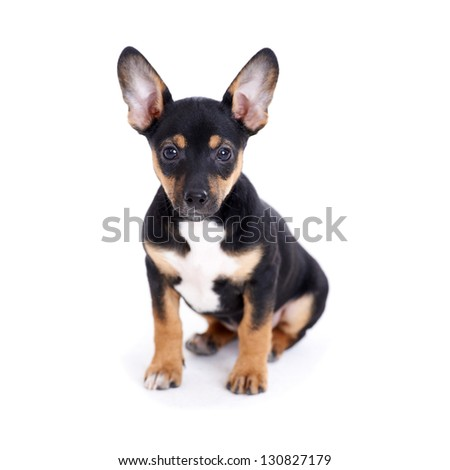 Young black coat puppy dog isolated on white background