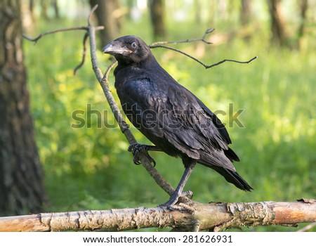 Young black (Corvus corax) raven bird sits on branch - stock photo