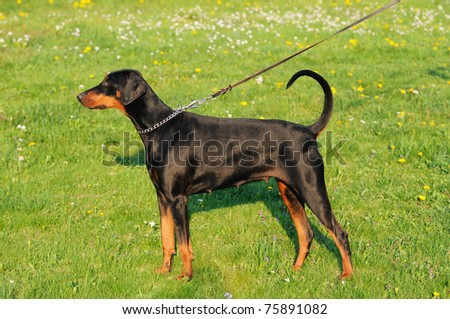 young black doberman dog stands on the green grass portrait Dobermann - stock photo