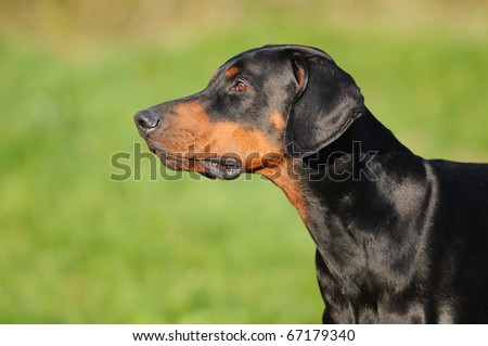 young black doberman sitting on the green grass portrait Dobermann - stock photo