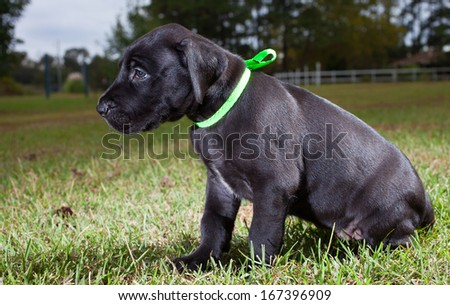 Young black great Dane puppy that is already big