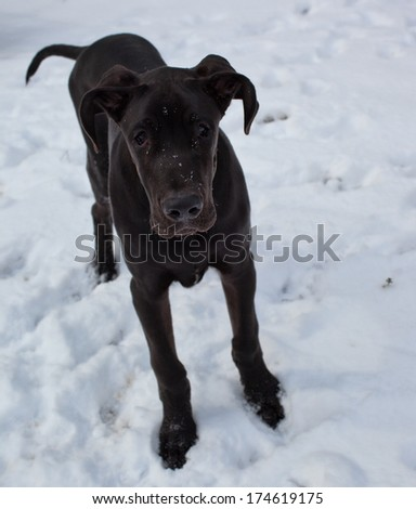 Young black great dane that wonders why its in the snow