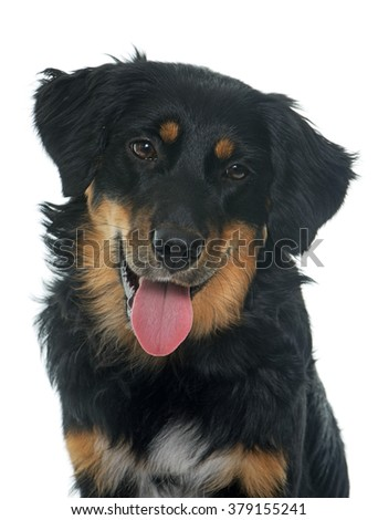 young black hovawart in front of white background