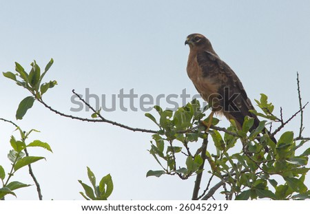 Young Black kite on the tree