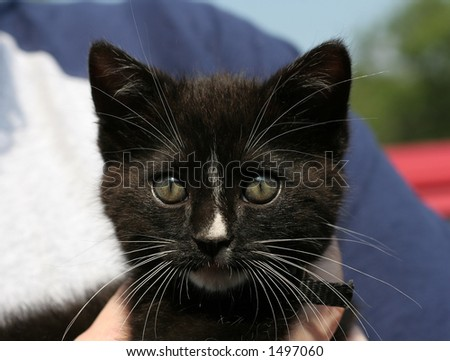 young black kitten - stock photo
